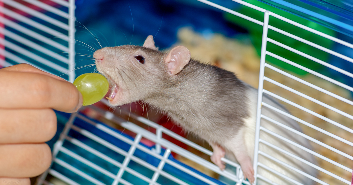 Rat Bite: Pictures, Rat-Bite Fever, Treatment, and Complications