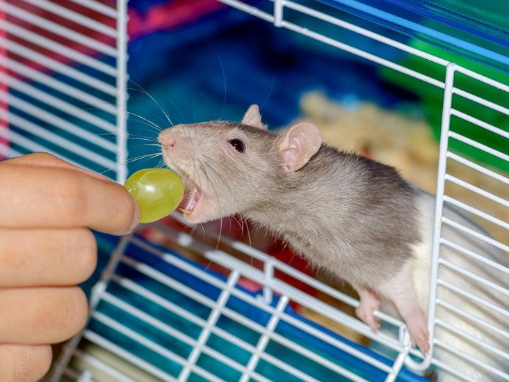 the Rat Report - The Rat Fan Club