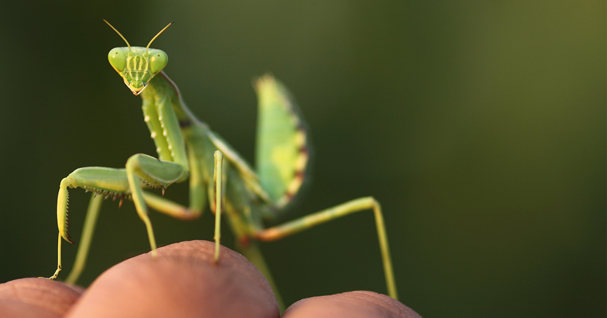 Can a Praying Mantis Bite Me? Treatments for an Unlikely