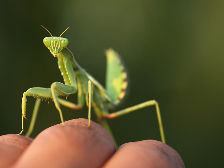 Can A Praying Mantis Bite Me Treatments For An Unlikely Scenario