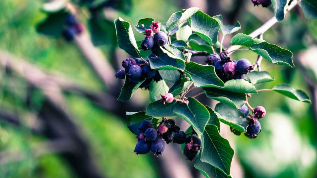 10 Tasty Wild Berries To Try And 8 Poisonous Ones To Avoid