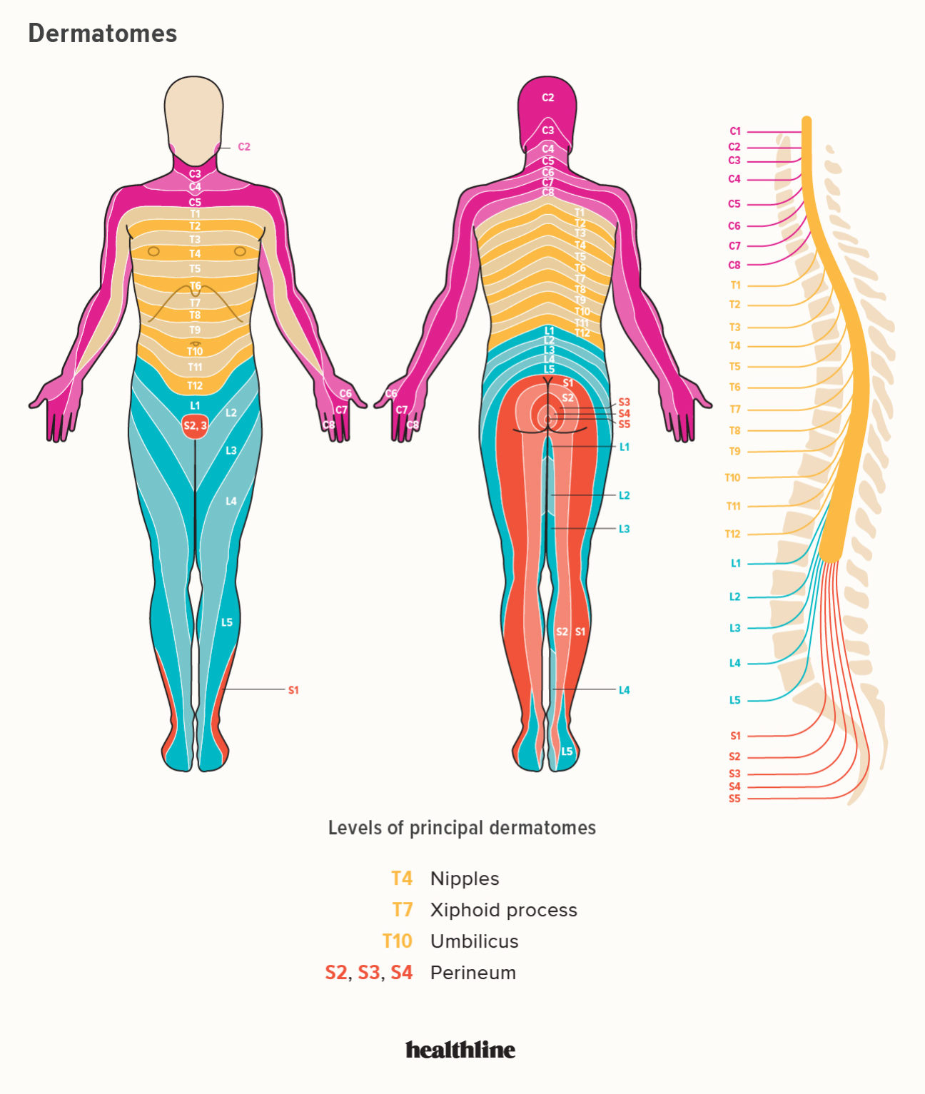 Dermatomes Diagram: Spinal s and Locations on