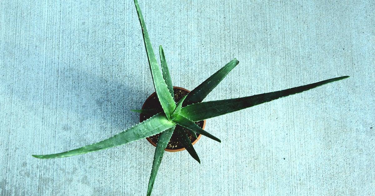 Aloe vera rosacea reddit