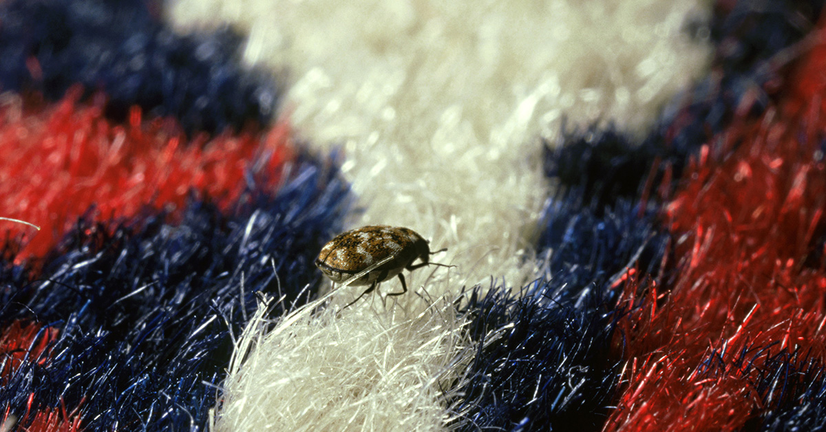 Do Carpet Beetles Bite? Facts and