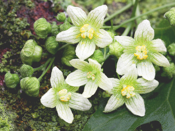 Bryonia: The Purported Benefits and Potential Side Effects