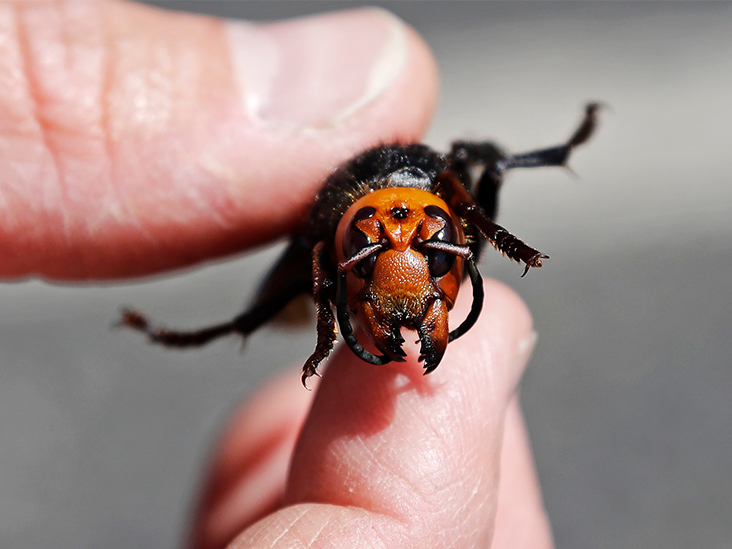 Do We Really Have to Worry About Murder Hornets Now?