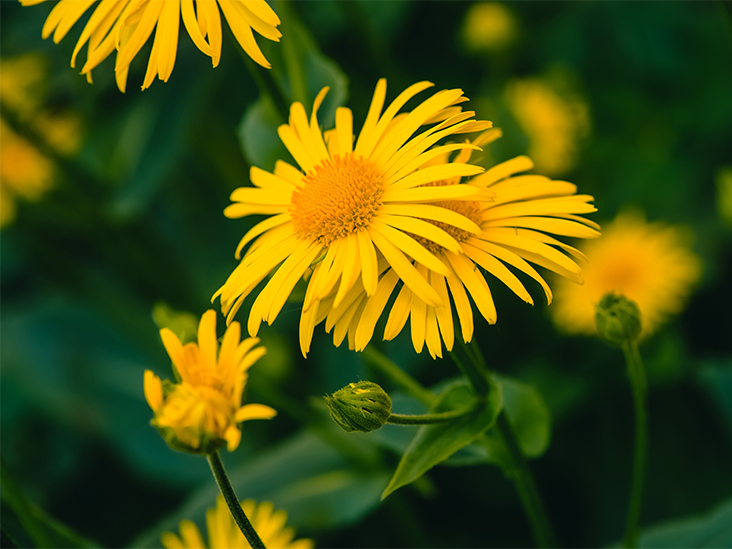 Arnica Homeopathic Medicine: Overview, Uses, and Benefits