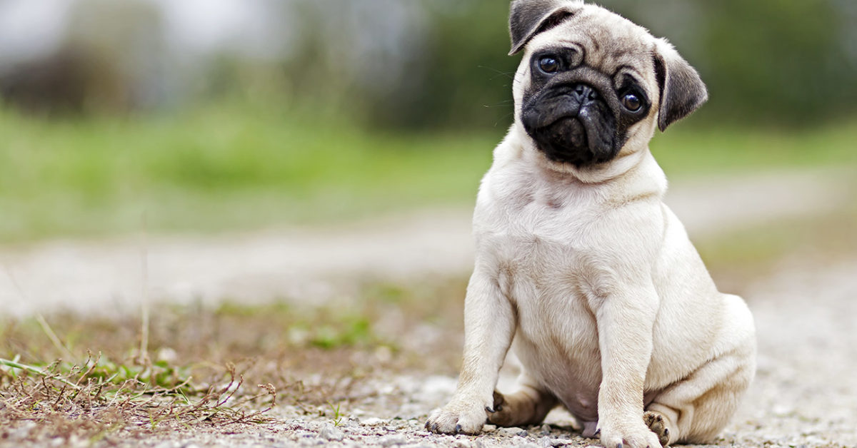 12 Common Dog Breeds And Their Health Issues