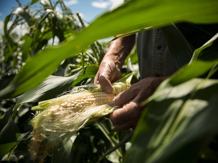 Corn Silk, Glucose Control, and Your Allover Health