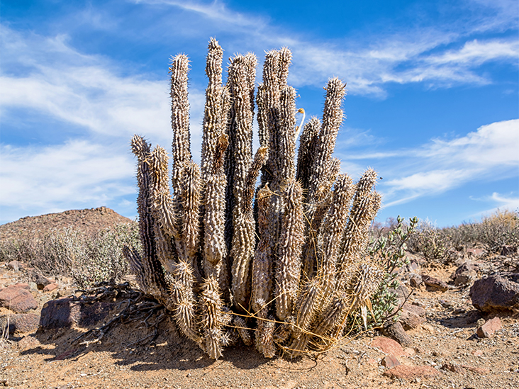 Hoodia Benefits Uses Dosage And Side Effects
