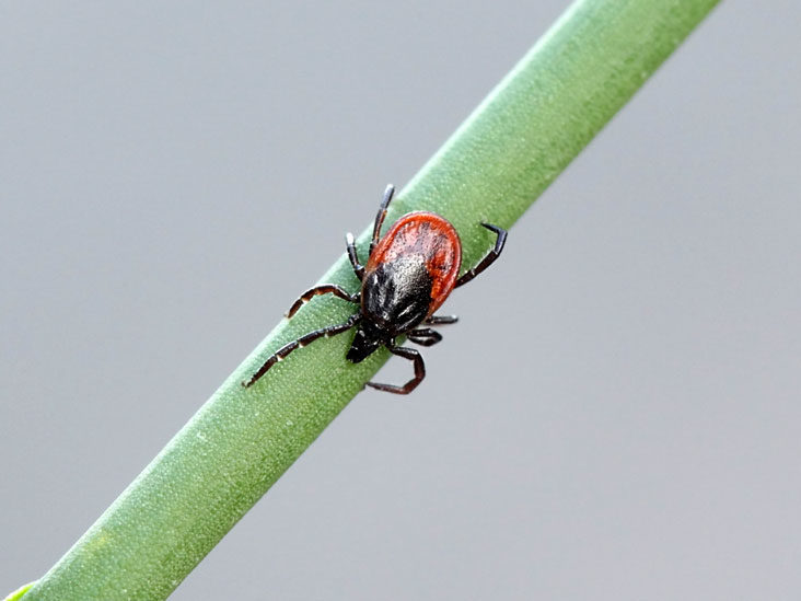 Lyme Disease Symptoms Treatment And Prevention
