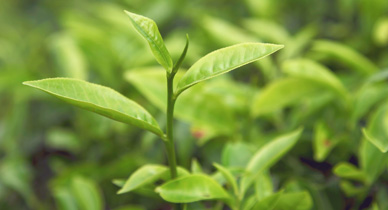 Can Tea Tree Oil Help Your Psoriasis?
