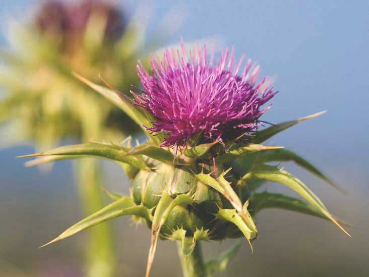 7 Science-Based Benefits of Milk Thistle