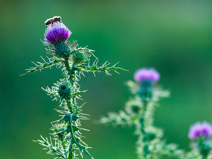 Does Milk Thistle Benefit Weight Loss?