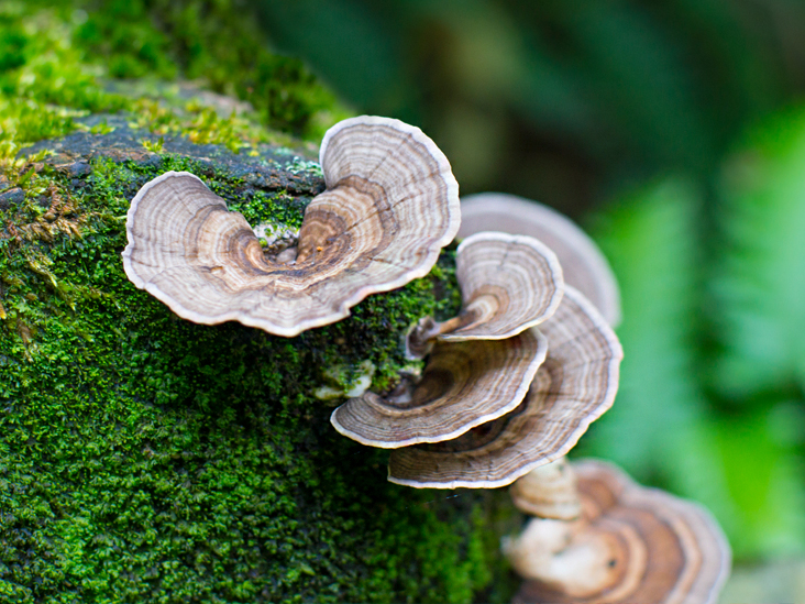 Turkey Tail Mushrooms: Can They Help Fight Cancer?