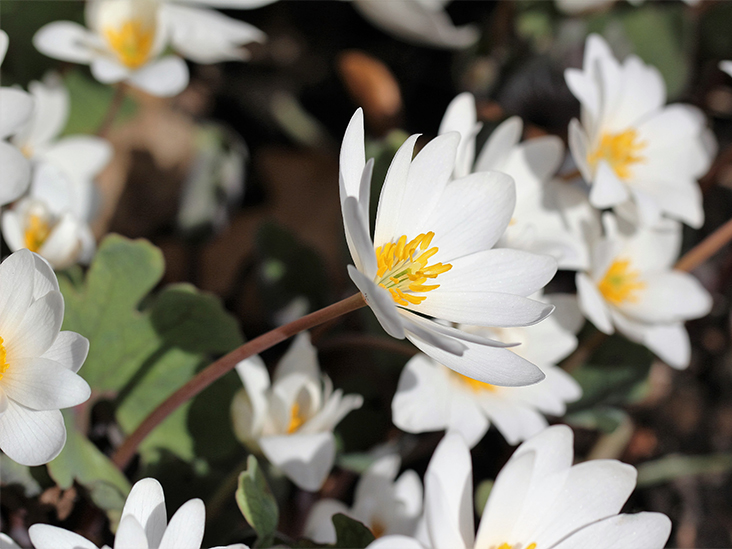 Bloodroot: Benefits, Uses, Precautions, and Dosage