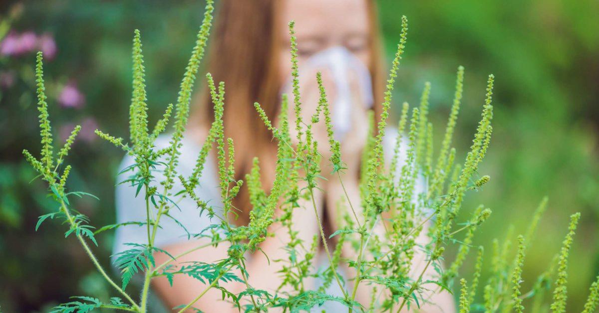 Ragweed Allergy Symptoms Treatment